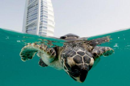 Burj Al Arab Jumeirah rehabilitates 75 turtles